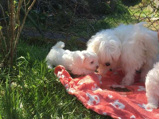 Lovely Maltese Puppies For Sale image 2