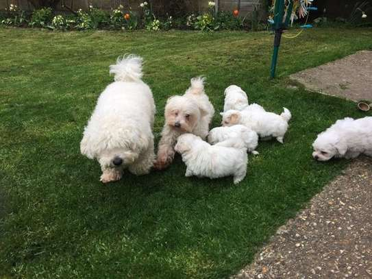 Maltese puppies image 1
