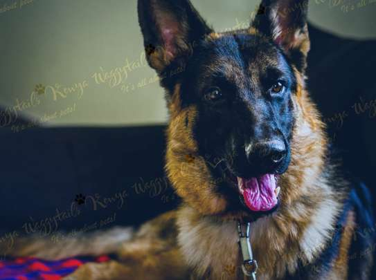Stud Services for German Shepherd.