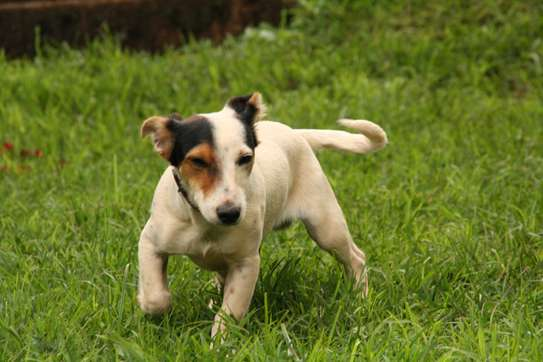 Adorable Jack Russel / Beagle Mix Puppies available image 7