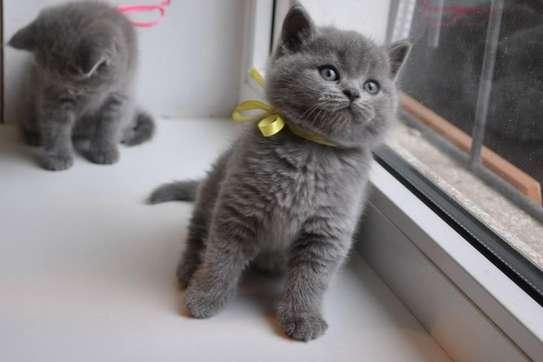 Cute British Blue Shorthair kittens image 1