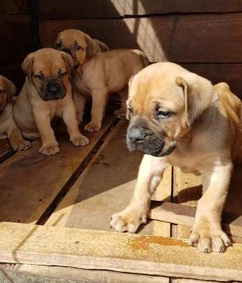 Olx Dogs For Sale