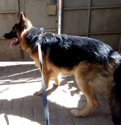 Adult German Shepherd for Sale