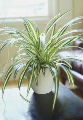A Spider you can love- the Spider plant? image 1