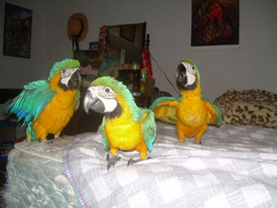 Sweet young talking babies 3 ready babies Blue and Gold Macaws for sale now image 1