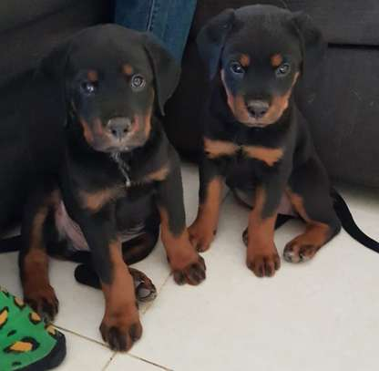 Box head Rottweiler puppies for sale.