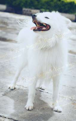 Stud Services for small Spitz dog breeds. image 2