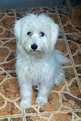Young male Terrier Puppy for sale. image 2