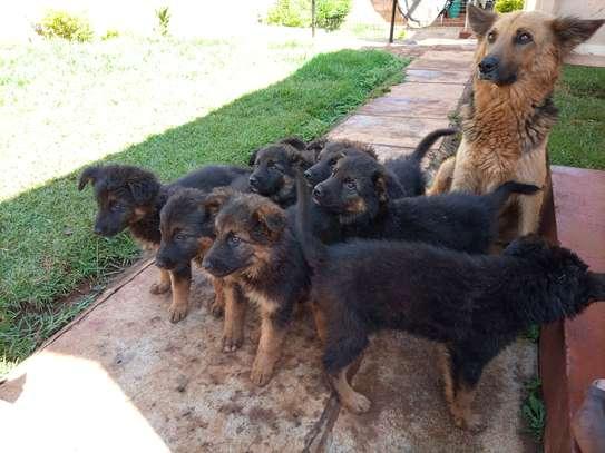 Long Coat German Shepherd Puppies image 3