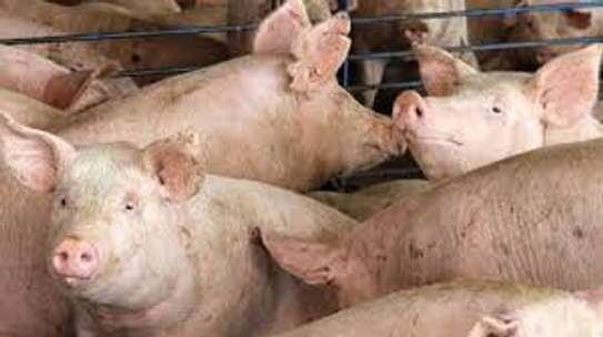 3 mature pigs for sale 2 castrated males,one sow,3 sold for 40,000 sh only around 50kg + weight  sow ready to be served