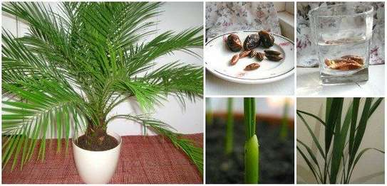 Majestic Palms for Indoor and outdoor decoration, snake plants, in Nairobi image 8