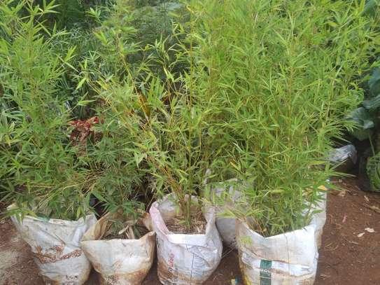 Bamboo(3feet) image 1