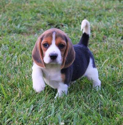 Male and female Purebred Beagle puppies for sale image 1