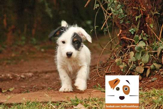 Adorable Jack Russel / Beagle Mix Puppies available image 1
