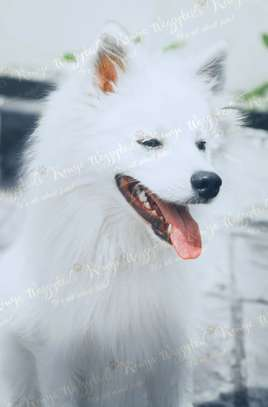 Stud Services for small Spitz dog breeds. image 4