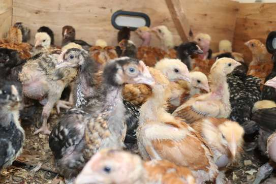 Poultry image 3