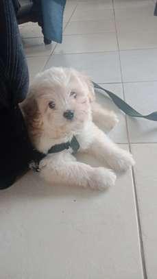 Havanese Puppy image 4