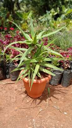 Potted Medicinal Aloevera image 1