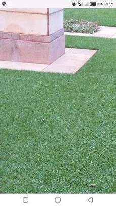 Lawn grass for sale image 3