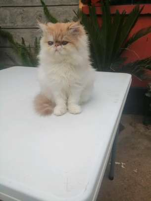 Young female persian cat image 2