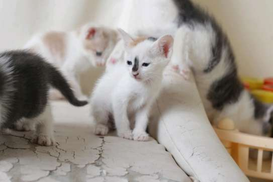 Baby Male fluffy Kittens image 5
