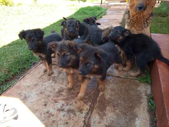 Long Coat German Shepherd Puppies image 1