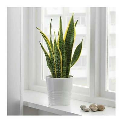 The Snake plant(with saucer) image 1
