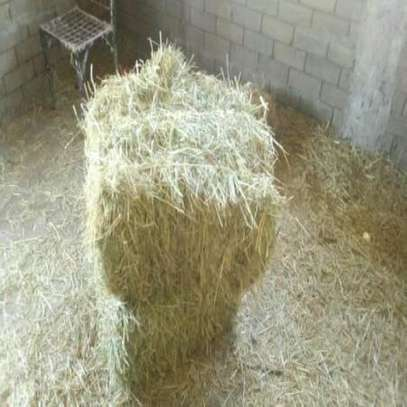 1000 BALES OF  HAY AVAILABLE FOR SALE(BHOMA RHODES) image 1