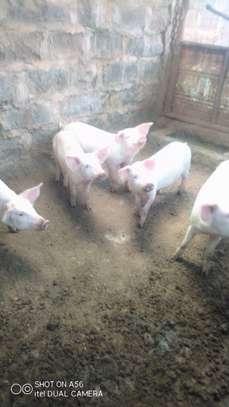 Pig image 1