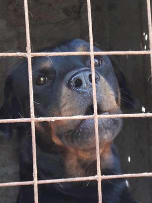Male Rottweiler available