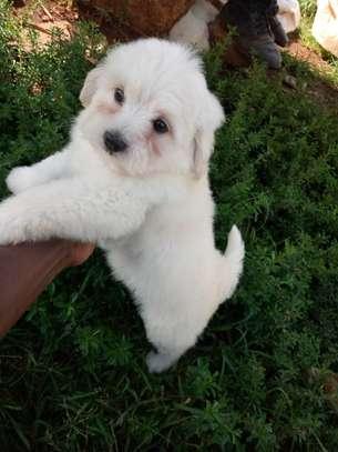 Havanese Puppy image 3