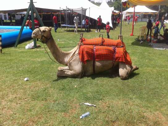Horse and camel for hire