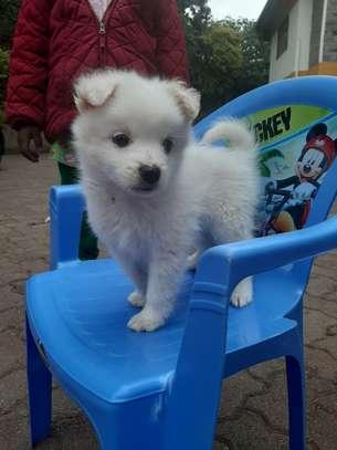 Japanese Spitz puppy image 6