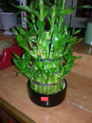 Indoor Lucky Bamboo image 2