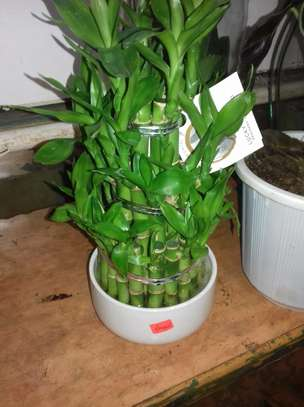 Indoor Lucky Bamboo image 1