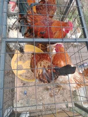 Big cocks image 1