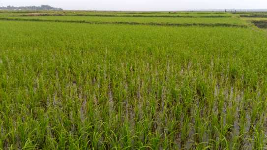 2 & 1/4 acres Rice farm.Planted.Buy and even own this year's/season crop.