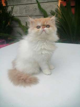 Young female persian cat image 1