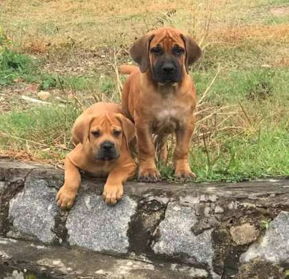 Boerboel/South African Mastiff Puppies for sale
