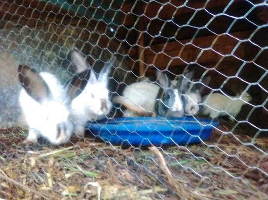 Rabbits on sale crossbreed at 600 each