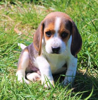Male and female Purebred Beagle puppies for sale image 2