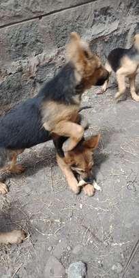 German shepherd puppies image 7