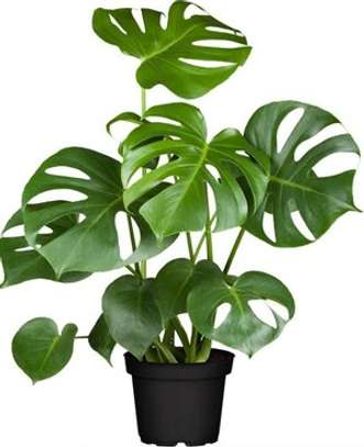 Indoor plants in Kenya - Swiss Cheese Plant (potted) image 1