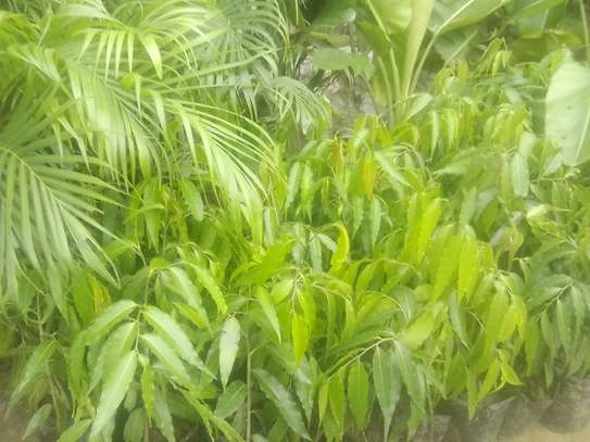 Palm tree new arrivals and Ashok trees