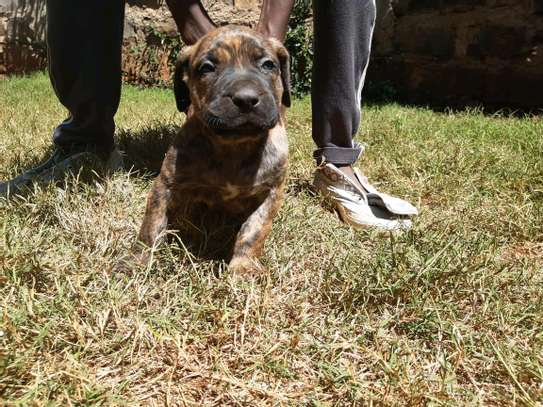 Boer boel puppies available image 2