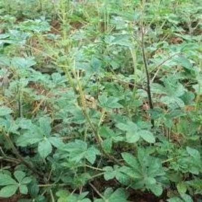 Night Shade (Managu), spider plant (sagaa or saget), amaranth (terere),jute mallow (mrenda) image 1