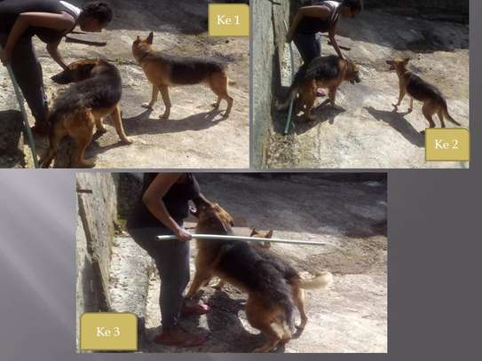 5 Mature German sherpherd dogs  for sale image 1