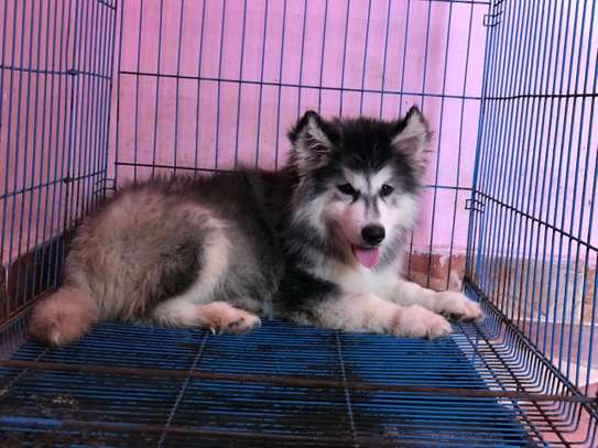 Alaska malamute for sale