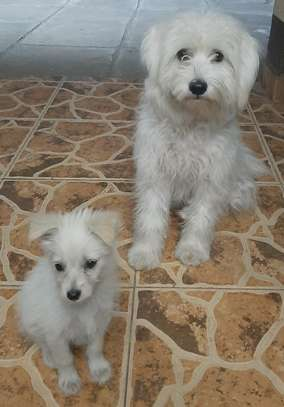 Young male Terrier Puppy for sale. image 3