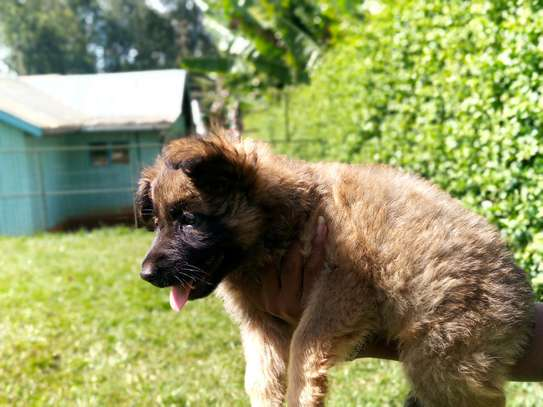 Gsd/black sherpheds available